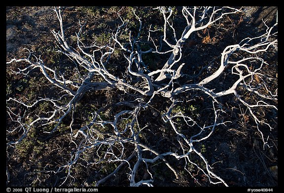 Manzanita skeleton, Hetch Hetchy Valley. Yosemite National Park (color)