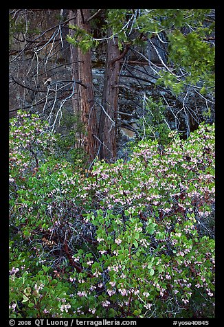 Manzanita in bloom, pine tree, and rock. Yosemite National Park (color)