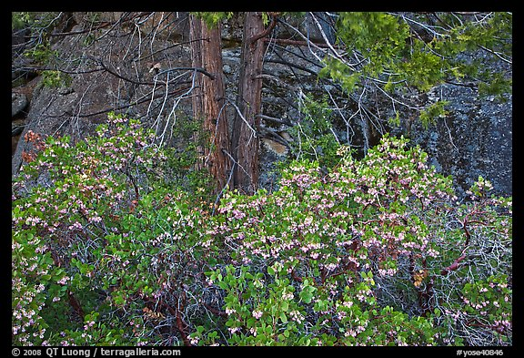 Manzanita with flowers, pine tree, and rock. Yosemite National Park (color)