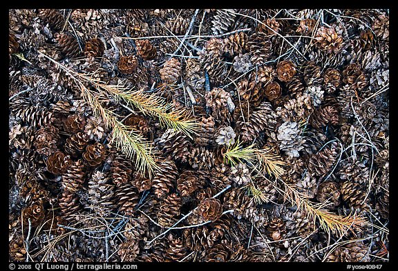 Close-up of pine cones and needles. Yosemite National Park (color)