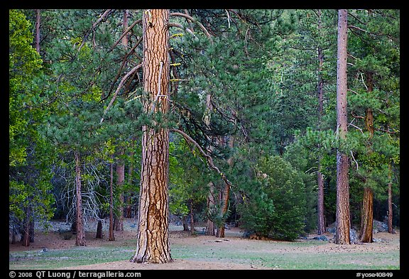 Lodgepole pine and forest. Yosemite National Park (color)