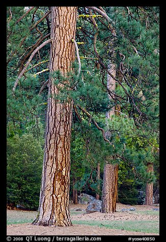 Lodgepole pines. Yosemite National Park (color)