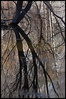 Willows reflected in Merced River. Yosemite National Park ( color)