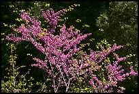 Redbud tree in bloom, Lower Merced Canyon. Yosemite National Park, California, USA. (color)