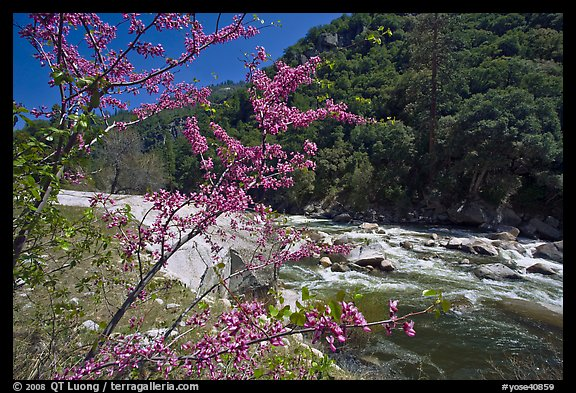 Redbud in bloom and Merced River, Lower Merced Canyon. Yosemite National Park (color)