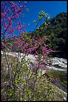 Redbud tree and Merced River, Lower Merced Canyon. Yosemite National Park, California, USA. (color)