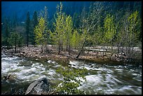 Newly leafed trees on island and Merced River, Lower Merced Canyon. Yosemite National Park, California, USA. (color)
