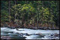 Trees in spring along the Merced River. Yosemite National Park ( color)