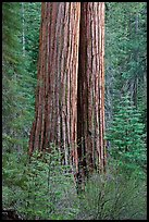 Twin sequoia truncs in the spring, Tuolumne Grove. Yosemite National Park, California, USA. (color)
