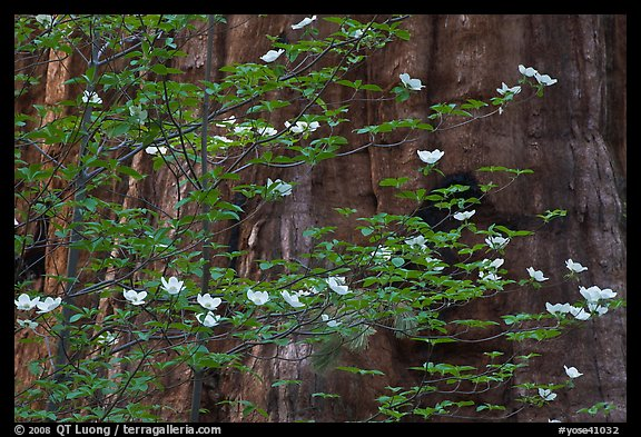 Dogwood blooms and giant sequoia tree trunk, Tuolumne Grove. Yosemite National Park (color)