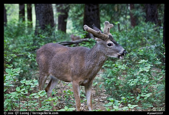 Young bull deer in forest. Yosemite National Park (color)