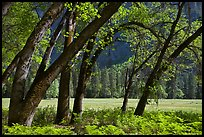 Ferns, Oak Trees, Ahwanhee Meadow. Yosemite National Park, California, USA. (color)