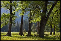 Black oaks in the Spring, El Capitan Meadow. Yosemite National Park ( color)