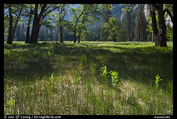 New ferns, grasses,  and oak trees, El Capitan Meadow. Yosemite National Park (color)