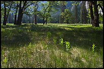 New ferns, grasses,  and oak trees, El Capitan Meadow. Yosemite National Park, California, USA. (color)