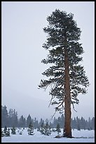 Tall solitary pine tree in snow storm. Yosemite National Park ( color)