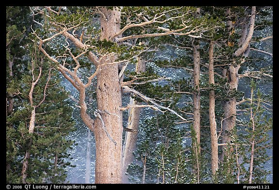 Pine tree forest in storm with spindrift, Tioga Pass. Yosemite National Park (color)