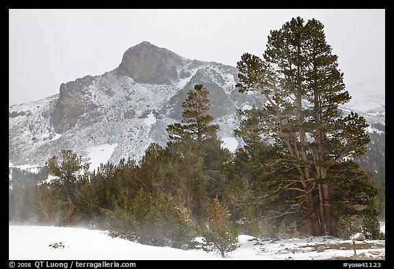 Trees and peak with fresh snow, Tioga Pass. Yosemite National Park (color)