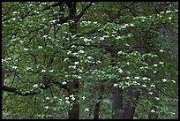 Flowering dogwood tree. Yosemite National Park, California, USA. (color)
