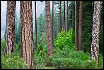 Forest with fall pine trees and spring undergrowth. Yosemite National Park, California, USA. (color)