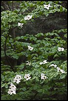 Dogwood tree branches with flowers. Yosemite National Park, California, USA. (color)