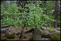 Dogwood tree and mossy boulders in spring, Happy Isles. Yosemite National Park, California, USA. (color)
