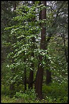Tall dogwood tree, Happy Isles. Yosemite National Park, California, USA.