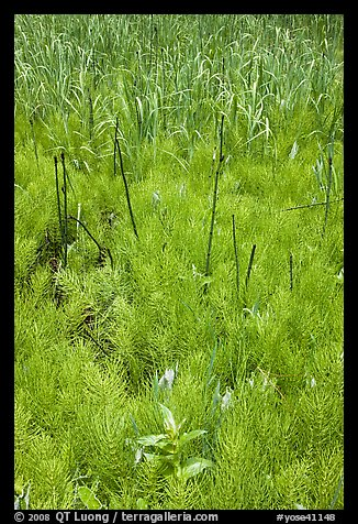 Horsetail grass (Equisetum arvense) near Happy Isles. Yosemite National Park (color)