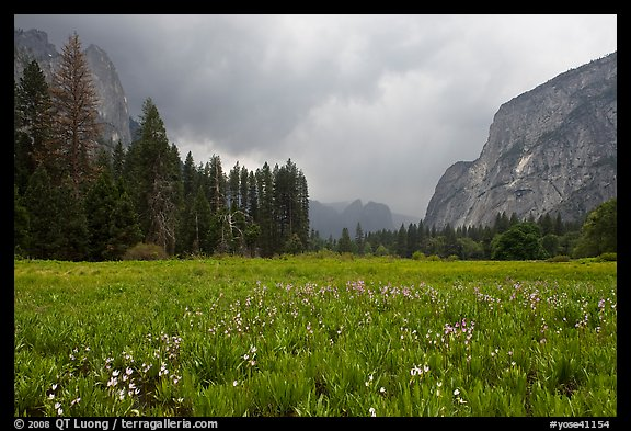 Wildflowers in Cook Meadow in stormy weather. Yosemite National Park (color)