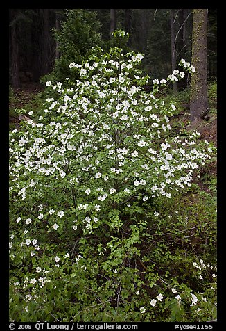 Pacific Dogwood in bloom near Crane Flat. Yosemite National Park (color)