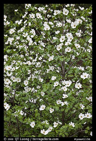 Close up of Pacific Dogwood. Yosemite National Park (color)