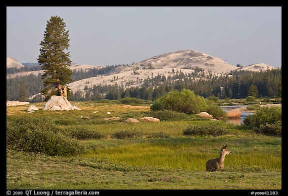 Deer, meadows, and Pothole Dome, early morning. Yosemite National Park (color)
