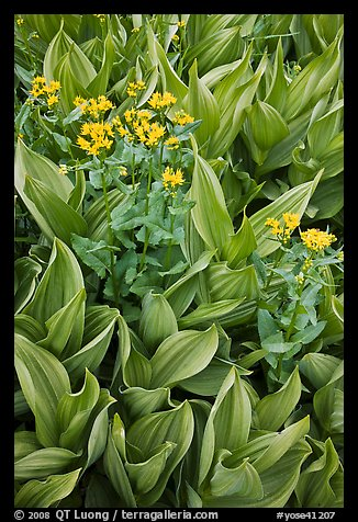 Corn lillies with yellow flowers. Yosemite National Park (color)