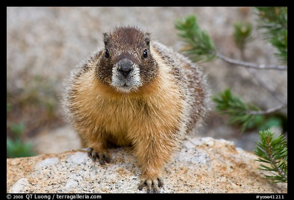 Front view of marmot. Yosemite National Park (color)