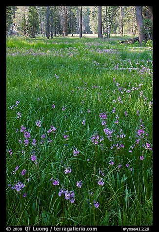 Meadow with carpet of purple summer flowers, Yosemite Creek. Yosemite National Park (color)