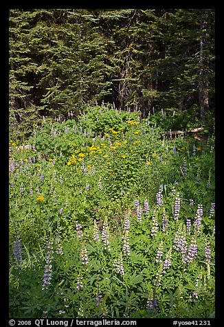 Lupine, yellow flowers, and trees, Yosemite Creek. Yosemite National Park (color)