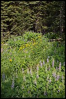 Lupine, yellow flowers, and trees, Yosemite Creek. Yosemite National Park, California, USA.