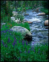 Lupine and stream, Tuolumne meadows. Yosemite National Park, California, USA. (color)