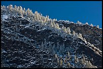 Frosted trees on valley rim. Yosemite National Park ( color)