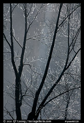 Bare branches and Bridalveil Fall. Yosemite National Park (color)