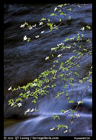 Dogwood branches and Merced River. Yosemite National Park (color)