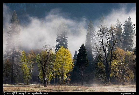 Fog lifting above trees in spring. Yosemite National Park (color)
