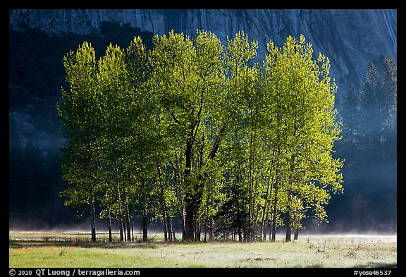 Aspens with new leaves in spring. Yosemite National Park (color)
