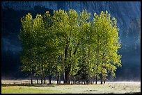 Aspens with new leaves in spring. Yosemite National Park, California, USA. (color)