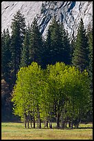 Aspens in Ahwanhee Meadows in spring. Yosemite National Park, California, USA. (color)