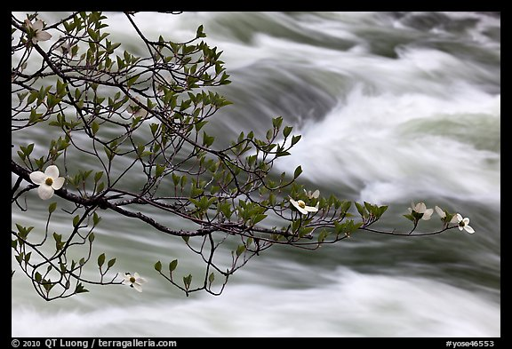 Dogwood branch and Merced River rapids. Yosemite National Park (color)