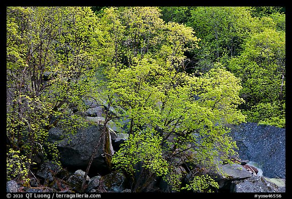 Newly leafed trees and boulders. Yosemite National Park (color)