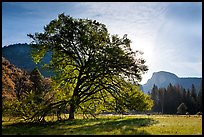 Cooks Meadow, Elm Tree, and Half-Dome. Yosemite National Park, California, USA. (color)