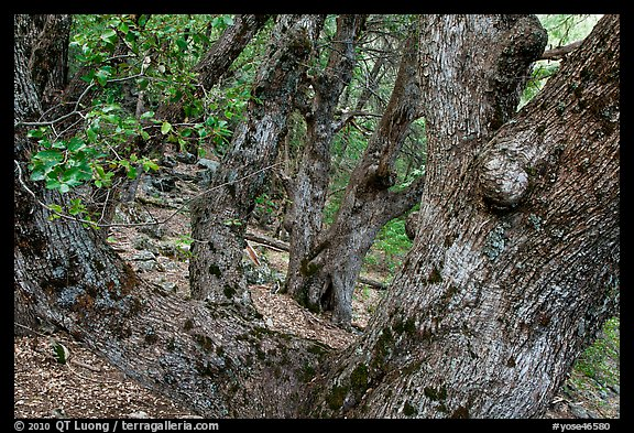 Oak trees on forested slopes. Yosemite National Park (color)