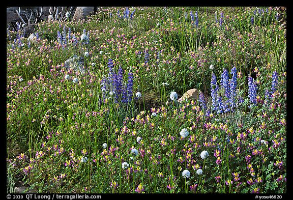 Carpet of wildflowers. Yosemite National Park (color)
